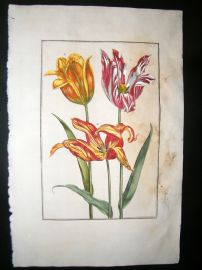 Daniel Rabel 1771 Folio Hand Col Botanical. Marbled & Yellow Tulips 10